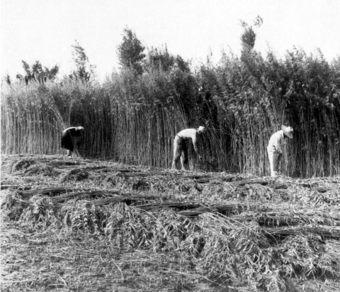 "The backbreaking labor of harvesting hemp, using a small, ""hemp hook."""